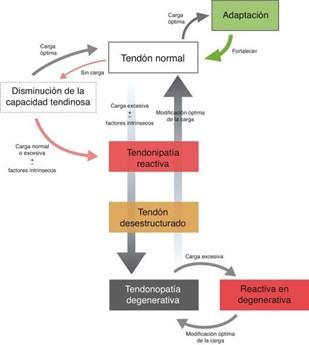 fases rehabilitación tendinitis